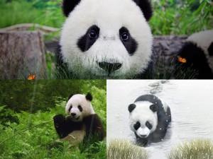 Панда это новые живые обои на ваш рабочий стол для Windows