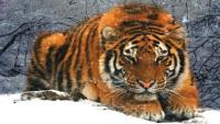 Тигр вокруг которого летают снежинки